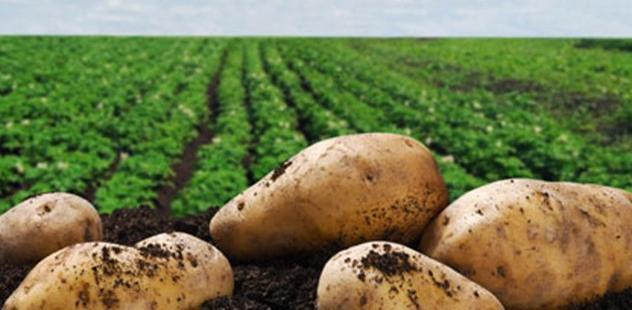 Βιολογική πατάτα