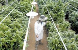 Καλλιέργεια της Cannabis sativa