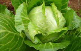 Βιολογικό λάχανο